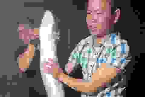 """Bắt được cá chình """"khủng"""" nặng 14 kg, bán 6 triệu đồng"""