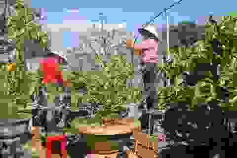 Các nhà vườn hút khách nhờ dịch vụ chăm cây mai sau tết
