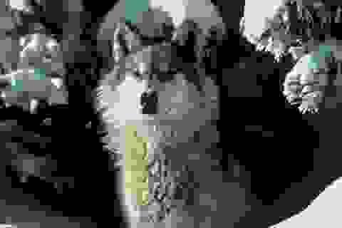 Chó sói đang quay lại Đức vô tình nhờ… quân đội