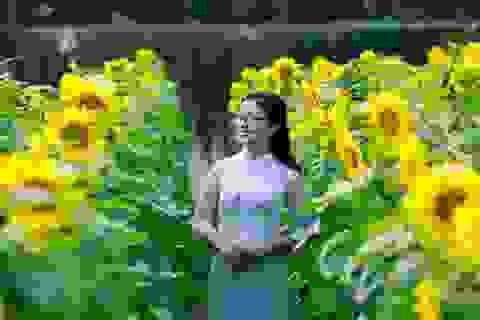 Ngẩn ngơ trước vườn hoa hướng dương 2000m2 ở Hoàng thành Thăng Long