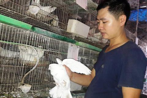 Chàng thanh niên kiếm hàng trăm triệu đồng từ chim bồ câu Pháp