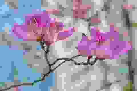Hoa ban nở rộ khoe sắc trắng tinh khôi giữa trời Hà Nội