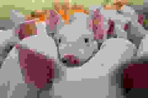 """Thịt lợn đắt chưa từng có, cổ phiếu doanh nghiệp chăn nuôi tăng """"vũ bão"""""""