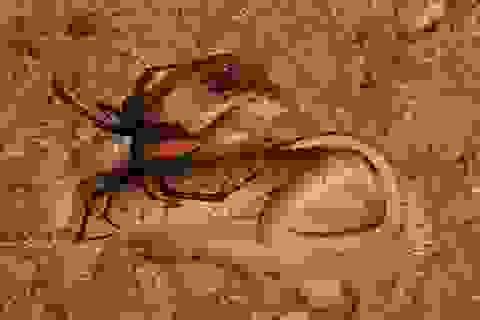 Cận cảnh trận chiến hiếm gặp giữa nhện lưng đỏ cực độc và rắn nâu
