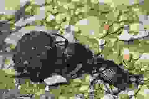 Người Ai Cập cổ đại từng nghĩ bọ hung mang bí mật về sự sống bất tử