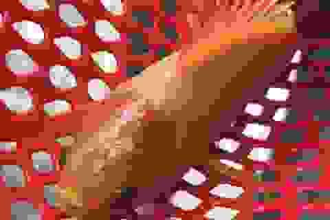 Bắt được cá rô toàn thân vàng óng tuyệt đẹp