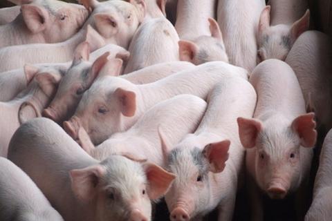 2,5 triệu hộ chăn nuôi lợn chịu ảnh hưởng của dịch tả lợn châu Phi