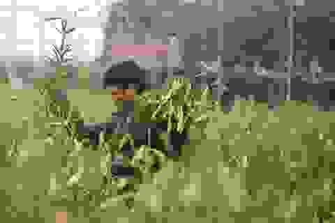 Mùa hoa loa kèn đến sớm ở Hà Nội