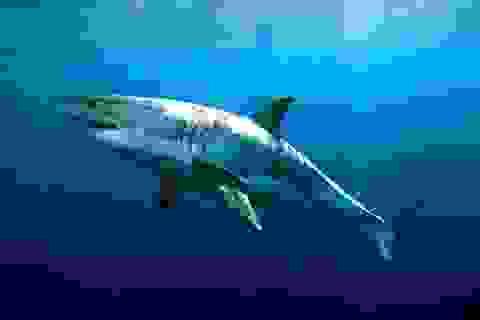 Cá mập trắng lớn đuổi theo hải cẩu qua rừng tảo bẹ