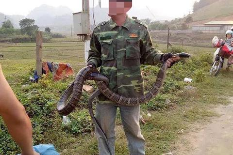 Truy được nguồn gốc rắn hổ mang cực độc dài hơn 2m, nặng hơn 6kg