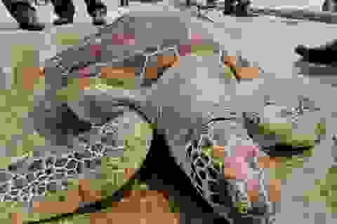 Thả rùa quý dính lưới ngư dân về với biển