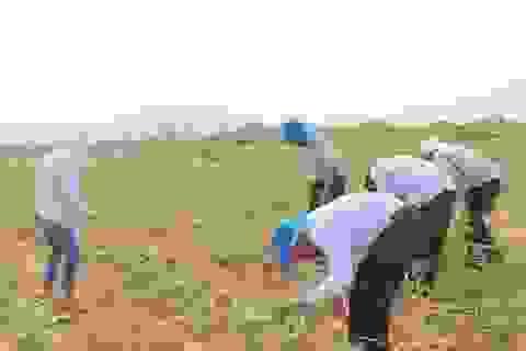 Người trồng sắn lao đao vì cây trồng nhiễm bệnh lạ