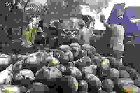 """Quảng Ngãi:  Giá dưa hấu tăng kỷ lục, nông dân lãi """"khủng"""""""