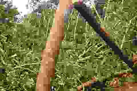 Lốc xoáy quật đổ cây rừng khiến 1 phụ nữ tử vong