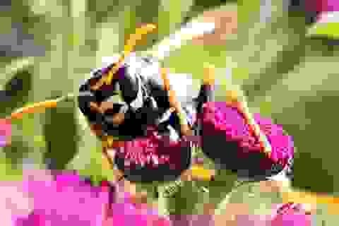 Ong bắp cày là loài côn trùng đầu tiên biết tính toán logic