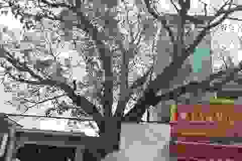Chủ tịch tỉnh chỉ đạo kiểm tra việc cây bồ đề hàng trăm tuổi bị xâm hại