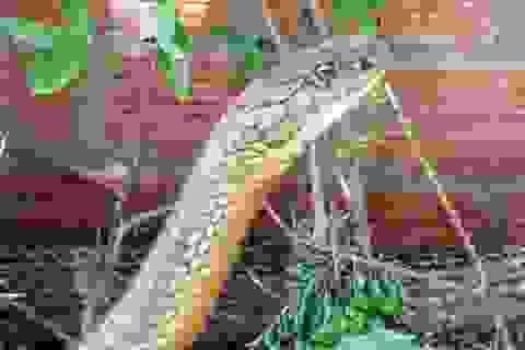 """Cặp rắn """"khủng"""" đúng là rắn hổ mang chúa cực độc"""