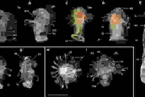 Các nhà sinh vật học khám phá ra loài ấu trùng biển bí ẩn