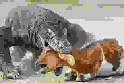 Hành trình làm mẹ đặc biệt và tàn khốc của rồng Komodo