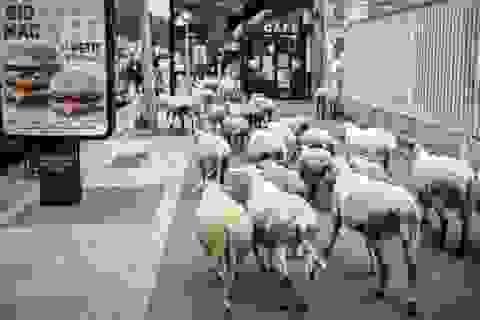 Pháp: Thiếu học sinh, trường học vùng núi tuyển sinh cả… cừu