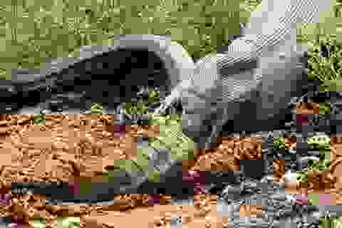 Cận cảnh trăn khổng lồ nuốt chửng cá sấu