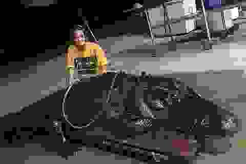 Cá sấu khổng lồ bất ngờ xuất hiện, gây náo loạn đường phố Mỹ