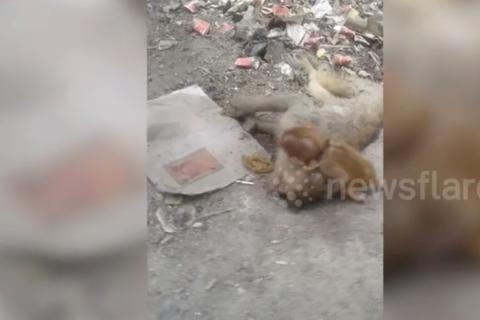 Khỉ con đau buồn ôm xác, cố lay gọi khỉ mẹ chết vì nắng nóng