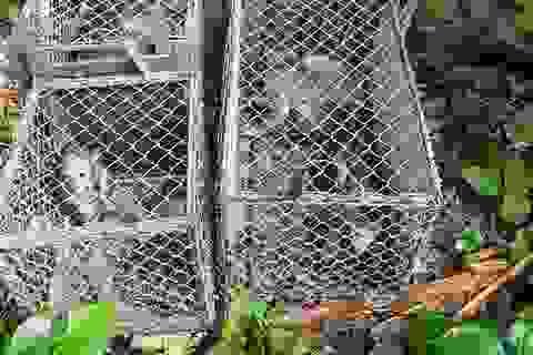 Quảng Bình: Thả 10 cá thể khỉ quý hiếm về môi trường tự nhiên