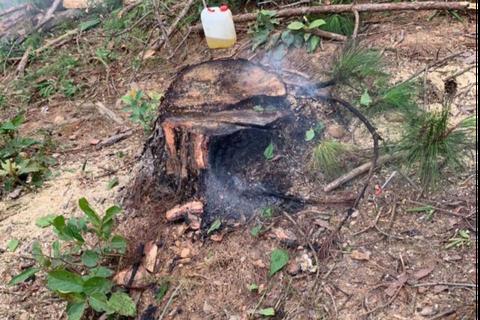 Ngang nhiên mang cưa máy triệt hạ rừng thông để chiếm đất