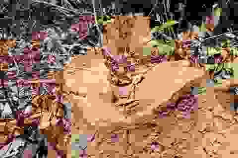 Hơn 10ha rừng phòng hộ bị lâm tặc ngang nhiên tàn phá