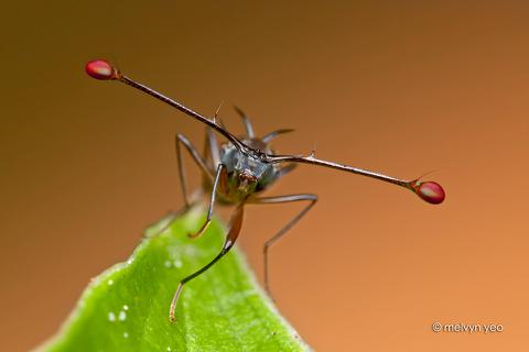 """Loài ruồi kỳ lạ bậc nhất: Dùng khí trong đầu để ép mắt """"lồi"""" ra hai bên!"""