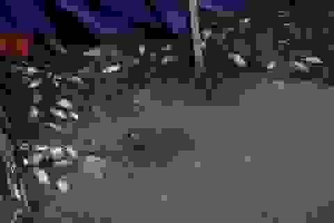 Cá chết nổi bốc mùi hôi thối ở Hồ Tây, hồ Hồ Đắc Di
