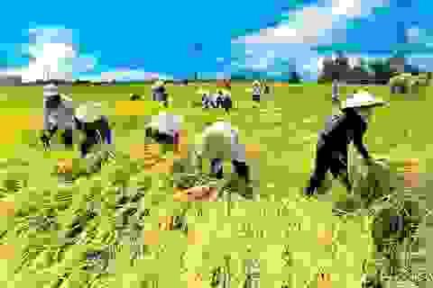 """Hà Tĩnh chỉ đạo khẩn trương thu hoạch lúa trước khi bão Podul """"càn quét"""""""