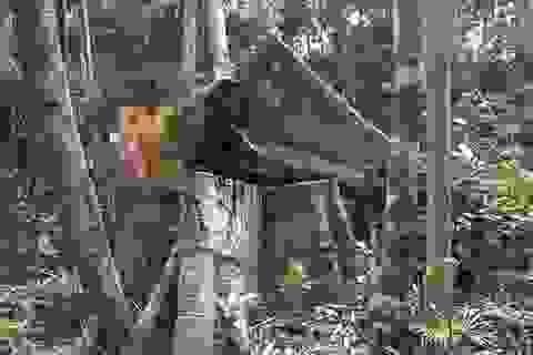 Tiếng thét của rừng Tây Nguyên: Chính kẻ nhận tiền giữ rừng... phá rừng!