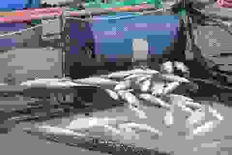 Xác định nguyên nhân khiến hàng chục tấn cá đặc sản chết trắng bè