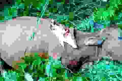 Xuất hiện thú dữ ăn thịt, giết hại bò của dân ở Hòa Bình