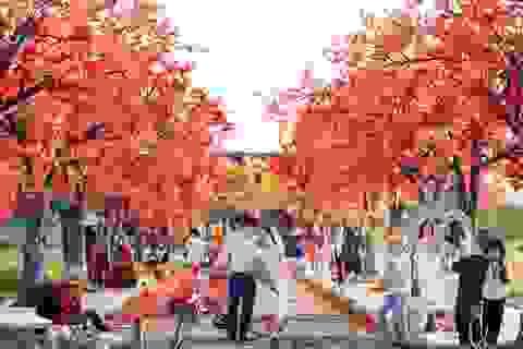 Ngỡ ngàng con đường lá đỏ lãng mạn tựa phim Hàn ở Hà Nội