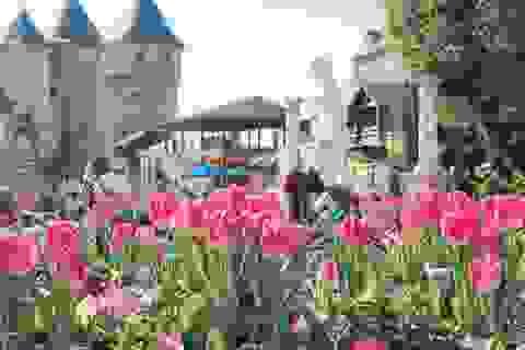 Một triệu bông tulip khoe sắc trên đỉnh Bà Nà