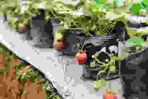 Vườn dâu tây đỏ mọng trên bãi sông Hà Nội