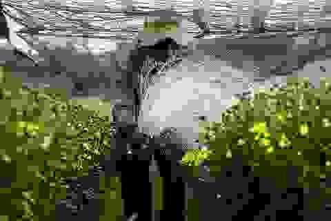 """Nông dân trồng hoa Sài Gòn tất bật vụ Tết, lo trời """"trở chứng"""""""