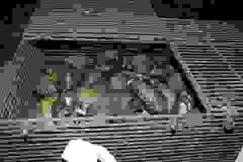 Bắt nhóm đối tượng buôn bán hơn 200 cá thể tê tê
