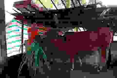 Phía sau chuyện thoát nghèo nhờ được tặng bò giống