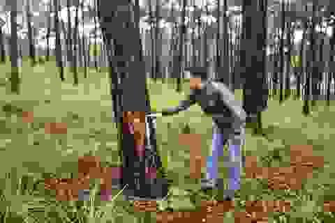 """Bắt nhóm đối tượng """"hạ độc"""" hơn 2000 cây thông để lấy đất mặt đường"""