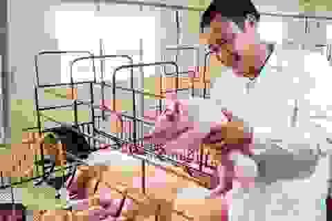 Mặc bão dịch, nhiều chủ trại chăn nuôi lợn vẫn tự tin tái đàn đón Tết