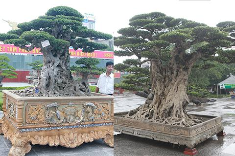 Mua cây sanh cổ quá cao, cắt làm đôi tạo thành 2 cây bán gần 20 tỷ đồng