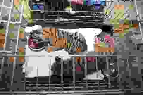 Giải cứu 2 cá thể hổ con được đựng trong túi nhựa