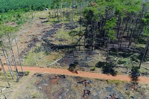 Bắt đối tượng chở người đi hạ độc rừng thông cổ thụ cạnh quốc lộ