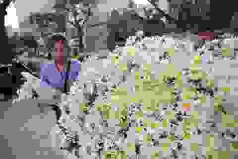 Cúc họa mi bung nở đón đông, rợp đường Hà Nội