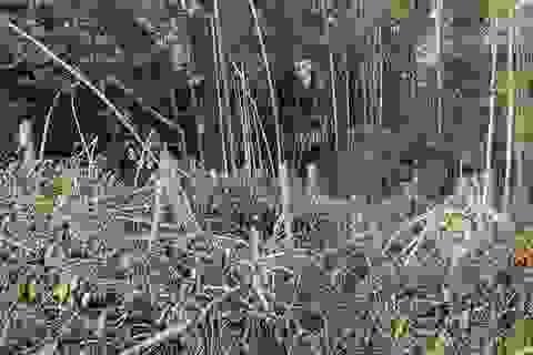 Chủ tịch Cà Mau chỉ đạo kiểm tra thông tin rừng phòng hộ bị chặt phá