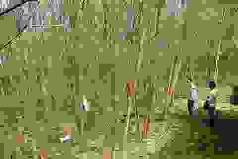 Cây héo úa bất thường quanh dự án thép Hòa Phát Dung Quất